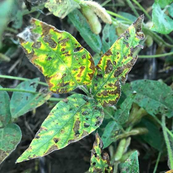 Late Season Diseases of Soybeans » PCT | Sunrise